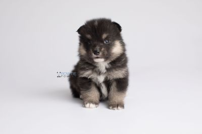 puppy148 week3 BowTiePomsky.com Bowtie Pomsky Puppy For Sale Husky Pomeranian Mini Dog Spokane WA Breeder Blue Eyes Pomskies Celebrity Puppy web7
