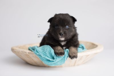 puppy149 week3 BowTiePomsky.com Bowtie Pomsky Puppy For Sale Husky Pomeranian Mini Dog Spokane WA Breeder Blue Eyes Pomskies Celebrity Puppy web7