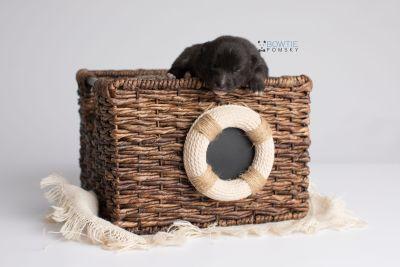puppy150 week1 BowTiePomsky.com Bowtie Pomsky Puppy For Sale Husky Pomeranian Mini Dog Spokane WA Breeder Blue Eyes Pomskies Celebrity Puppy web3