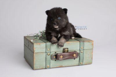 puppy150 week3 BowTiePomsky.com Bowtie Pomsky Puppy For Sale Husky Pomeranian Mini Dog Spokane WA Breeder Blue Eyes Pomskies Celebrity Puppy web4