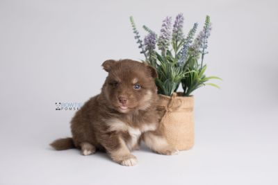 puppy151 week3 BowTiePomsky.com Bowtie Pomsky Puppy For Sale Husky Pomeranian Mini Dog Spokane WA Breeder Blue Eyes Pomskies Celebrity Puppy web3