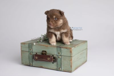 puppy151 week3 BowTiePomsky.com Bowtie Pomsky Puppy For Sale Husky Pomeranian Mini Dog Spokane WA Breeder Blue Eyes Pomskies Celebrity Puppy web4