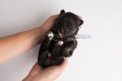 puppy152 week1 BowTiePomsky.com Bowtie Pomsky Puppy For Sale Husky Pomeranian Mini Dog Spokane WA Breeder Blue Eyes Pomskies Celebrity Puppy web10