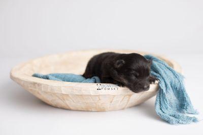 puppy152 week1 BowTiePomsky.com Bowtie Pomsky Puppy For Sale Husky Pomeranian Mini Dog Spokane WA Breeder Blue Eyes Pomskies Celebrity Puppy web7