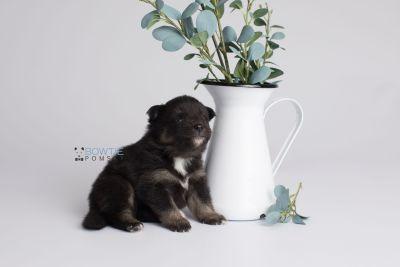 puppy152 week3 BowTiePomsky.com Bowtie Pomsky Puppy For Sale Husky Pomeranian Mini Dog Spokane WA Breeder Blue Eyes Pomskies Celebrity Puppy web1