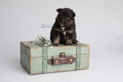 puppy152 week3 BowTiePomsky.com Bowtie Pomsky Puppy For Sale Husky Pomeranian Mini Dog Spokane WA Breeder Blue Eyes Pomskies Celebrity Puppy web4