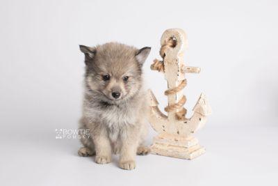 puppy143 week7 BowTiePomsky.com Bowtie Pomsky Puppy For Sale Husky Pomeranian Mini Dog Spokane WA Breeder Blue Eyes Pomskies Celebrity Puppy web4