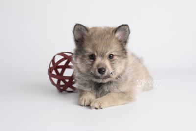 puppy143 week7 BowTiePomsky.com Bowtie Pomsky Puppy For Sale Husky Pomeranian Mini Dog Spokane WA Breeder Blue Eyes Pomskies Celebrity Puppy web5