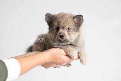 puppy143 week7 BowTiePomsky.com Bowtie Pomsky Puppy For Sale Husky Pomeranian Mini Dog Spokane WA Breeder Blue Eyes Pomskies Celebrity Puppy web9