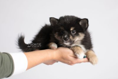 puppy144 week7 BowTiePomsky.com Bowtie Pomsky Puppy For Sale Husky Pomeranian Mini Dog Spokane WA Breeder Blue Eyes Pomskies Celebrity Puppy web7