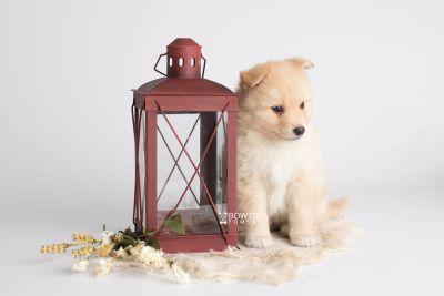 puppy145 week5 BowTiePomsky.com Bowtie Pomsky Puppy For Sale Husky Pomeranian Mini Dog Spokane WA Breeder Blue Eyes Pomskies Celebrity Puppy web1