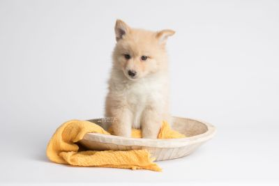 puppy145 week7 BowTiePomsky.com Bowtie Pomsky Puppy For Sale Husky Pomeranian Mini Dog Spokane WA Breeder Blue Eyes Pomskies Celebrity Puppy web5