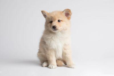 puppy145 week7 BowTiePomsky.com Bowtie Pomsky Puppy For Sale Husky Pomeranian Mini Dog Spokane WA Breeder Blue Eyes Pomskies Celebrity Puppy web7