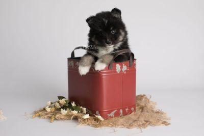 puppy146 week5 BowTiePomsky.com Bowtie Pomsky Puppy For Sale Husky Pomeranian Mini Dog Spokane WA Breeder Blue Eyes Pomskies Celebrity Puppy web2