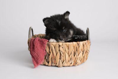 puppy146 week5 BowTiePomsky.com Bowtie Pomsky Puppy For Sale Husky Pomeranian Mini Dog Spokane WA Breeder Blue Eyes Pomskies Celebrity Puppy web3