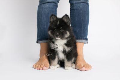 puppy146 week7 BowTiePomsky.com Bowtie Pomsky Puppy For Sale Husky Pomeranian Mini Dog Spokane WA Breeder Blue Eyes Pomskies Celebrity Puppy web9