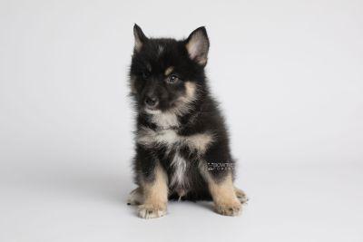 puppy147 week7 BowTiePomsky.com Bowtie Pomsky Puppy For Sale Husky Pomeranian Mini Dog Spokane WA Breeder Blue Eyes Pomskies Celebrity Puppy web6