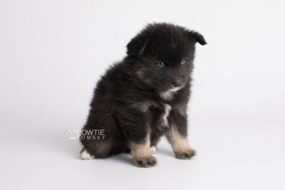 puppy148 week5 BowTiePomsky.com Bowtie Pomsky Puppy For Sale Husky Pomeranian Mini Dog Spokane WA Breeder Blue Eyes Pomskies Celebrity Puppy web9