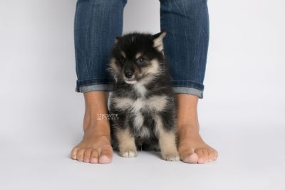 puppy148 week7 BowTiePomsky.com Bowtie Pomsky Puppy For Sale Husky Pomeranian Mini Dog Spokane WA Breeder Blue Eyes Pomskies Celebrity Puppy web8