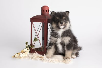 puppy149 week5 BowTiePomsky.com Bowtie Pomsky Puppy For Sale Husky Pomeranian Mini Dog Spokane WA Breeder Blue Eyes Pomskies Celebrity Puppy web2