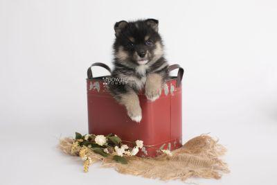 puppy149 week5 BowTiePomsky.com Bowtie Pomsky Puppy For Sale Husky Pomeranian Mini Dog Spokane WA Breeder Blue Eyes Pomskies Celebrity Puppy web3