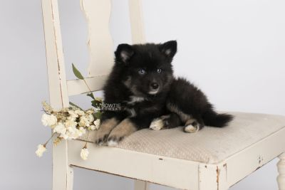 puppy149 week7 BowTiePomsky.com Bowtie Pomsky Puppy For Sale Husky Pomeranian Mini Dog Spokane WA Breeder Blue Eyes Pomskies Celebrity Puppy web1