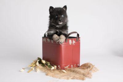 puppy150 week5 BowTiePomsky.com Bowtie Pomsky Puppy For Sale Husky Pomeranian Mini Dog Spokane WA Breeder Blue Eyes Pomskies Celebrity Puppy web3