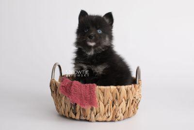 puppy150 week5 BowTiePomsky.com Bowtie Pomsky Puppy For Sale Husky Pomeranian Mini Dog Spokane WA Breeder Blue Eyes Pomskies Celebrity Puppy web4