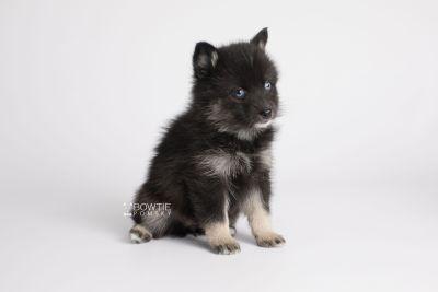 puppy150 week5 BowTiePomsky.com Bowtie Pomsky Puppy For Sale Husky Pomeranian Mini Dog Spokane WA Breeder Blue Eyes Pomskies Celebrity Puppy web7