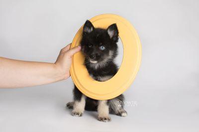 puppy150 week7 BowTiePomsky.com Bowtie Pomsky Puppy For Sale Husky Pomeranian Mini Dog Spokane WA Breeder Blue Eyes Pomskies Celebrity Puppy web5