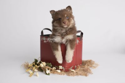 puppy151 week5 BowTiePomsky.com Bowtie Pomsky Puppy For Sale Husky Pomeranian Mini Dog Spokane WA Breeder Blue Eyes Pomskies Celebrity Puppy web2