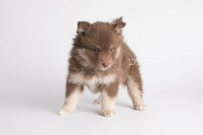 puppy151 week5 BowTiePomsky.com Bowtie Pomsky Puppy For Sale Husky Pomeranian Mini Dog Spokane WA Breeder Blue Eyes Pomskies Celebrity Puppy web6