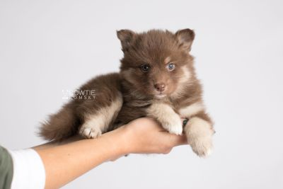 puppy151 week5 BowTiePomsky.com Bowtie Pomsky Puppy For Sale Husky Pomeranian Mini Dog Spokane WA Breeder Blue Eyes Pomskies Celebrity Puppy web7