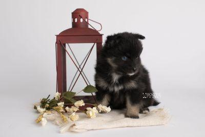puppy152 week5 BowTiePomsky.com Bowtie Pomsky Puppy For Sale Husky Pomeranian Mini Dog Spokane WA Breeder Blue Eyes Pomskies Celebrity Puppy web1