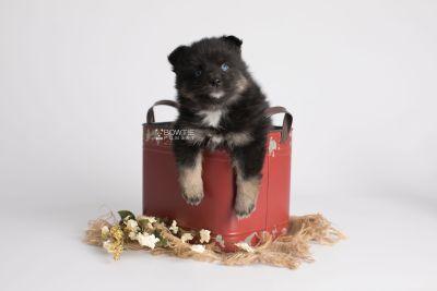 puppy152 week5 BowTiePomsky.com Bowtie Pomsky Puppy For Sale Husky Pomeranian Mini Dog Spokane WA Breeder Blue Eyes Pomskies Celebrity Puppy web2