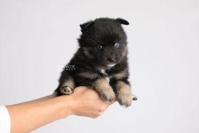 puppy152 week5 BowTiePomsky.com Bowtie Pomsky Puppy For Sale Husky Pomeranian Mini Dog Spokane WA Breeder Blue Eyes Pomskies Celebrity Puppy web7