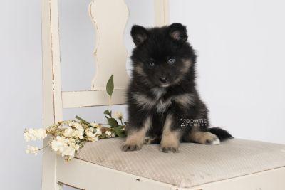 puppy152 week7 BowTiePomsky.com Bowtie Pomsky Puppy For Sale Husky Pomeranian Mini Dog Spokane WA Breeder Blue Eyes Pomskies Celebrity Puppy web1