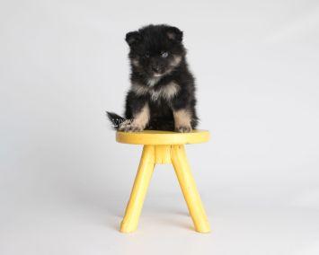 puppy152 week7 BowTiePomsky.com Bowtie Pomsky Puppy For Sale Husky Pomeranian Mini Dog Spokane WA Breeder Blue Eyes Pomskies Celebrity Puppy web5