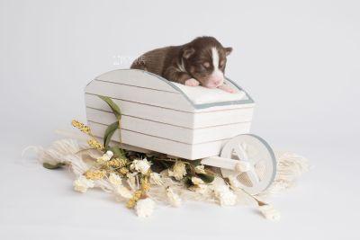 puppy153 week1 BowTiePomsky.com Bowtie Pomsky Puppy For Sale Husky Pomeranian Mini Dog Spokane WA Breeder Blue Eyes Pomskies Celebrity Puppy web2
