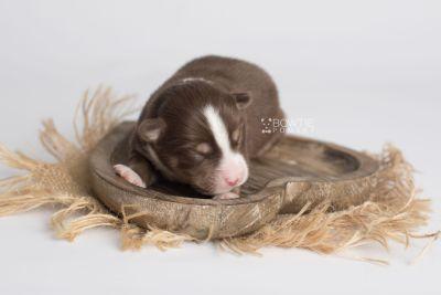 puppy153 week1 BowTiePomsky.com Bowtie Pomsky Puppy For Sale Husky Pomeranian Mini Dog Spokane WA Breeder Blue Eyes Pomskies Celebrity Puppy web4