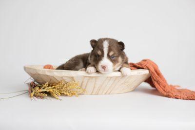 puppy153 week3 BowTiePomsky.com Bowtie Pomsky Puppy For Sale Husky Pomeranian Mini Dog Spokane WA Breeder Blue Eyes Pomskies Celebrity Puppy web3