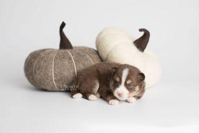 puppy153 week3 BowTiePomsky.com Bowtie Pomsky Puppy For Sale Husky Pomeranian Mini Dog Spokane WA Breeder Blue Eyes Pomskies Celebrity Puppy web4