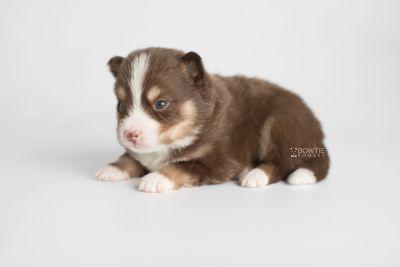 puppy153 week3 BowTiePomsky.com Bowtie Pomsky Puppy For Sale Husky Pomeranian Mini Dog Spokane WA Breeder Blue Eyes Pomskies Celebrity Puppy web6