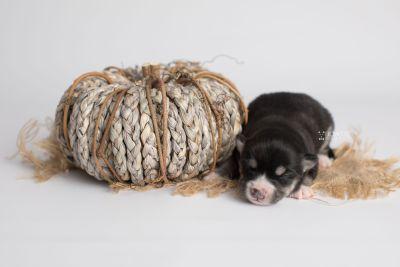 puppy154 week1 BowTiePomsky.com Bowtie Pomsky Puppy For Sale Husky Pomeranian Mini Dog Spokane WA Breeder Blue Eyes Pomskies Celebrity Puppy web3
