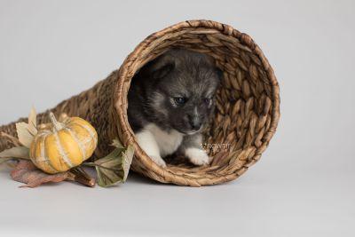 puppy154 week3 BowTiePomsky.com Bowtie Pomsky Puppy For Sale Husky Pomeranian Mini Dog Spokane WA Breeder Blue Eyes Pomskies Celebrity Puppy web1