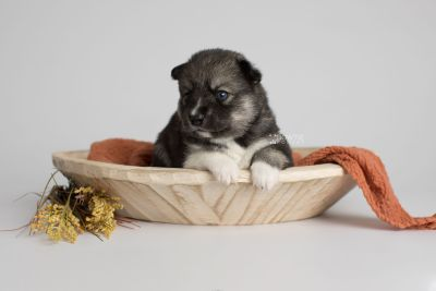 puppy154 week3 BowTiePomsky.com Bowtie Pomsky Puppy For Sale Husky Pomeranian Mini Dog Spokane WA Breeder Blue Eyes Pomskies Celebrity Puppy web2