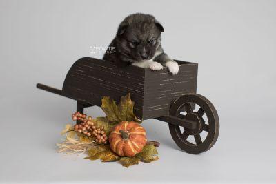 puppy154 week3 BowTiePomsky.com Bowtie Pomsky Puppy For Sale Husky Pomeranian Mini Dog Spokane WA Breeder Blue Eyes Pomskies Celebrity Puppy web6