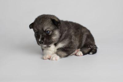 puppy154 week3 BowTiePomsky.com Bowtie Pomsky Puppy For Sale Husky Pomeranian Mini Dog Spokane WA Breeder Blue Eyes Pomskies Celebrity Puppy web7