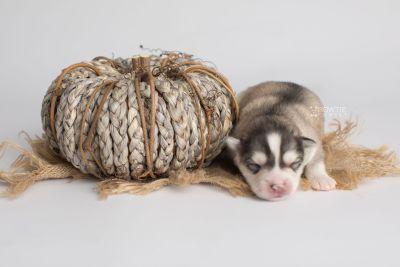 puppy156 week1 BowTiePomsky.com Bowtie Pomsky Puppy For Sale Husky Pomeranian Mini Dog Spokane WA Breeder Blue Eyes Pomskies Celebrity Puppy web4