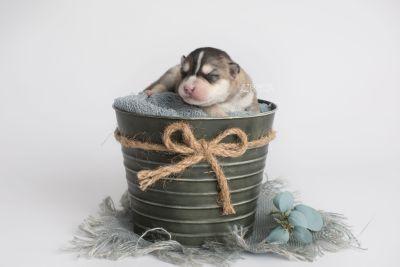 puppy157 week1 BowTiePomsky.com Bowtie Pomsky Puppy For Sale Husky Pomeranian Mini Dog Spokane WA Breeder Blue Eyes Pomskies Celebrity Puppy web1
